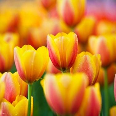 Тюльпаны Хдожник