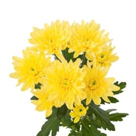 Кустовые желтые