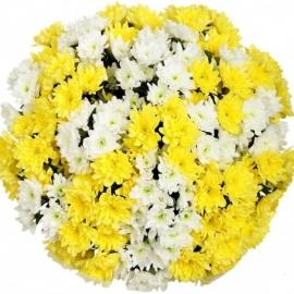 Букет из 35 белых и желтых хризантем