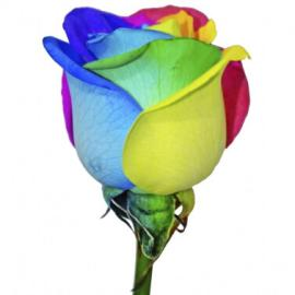 Радужная роза поштучно